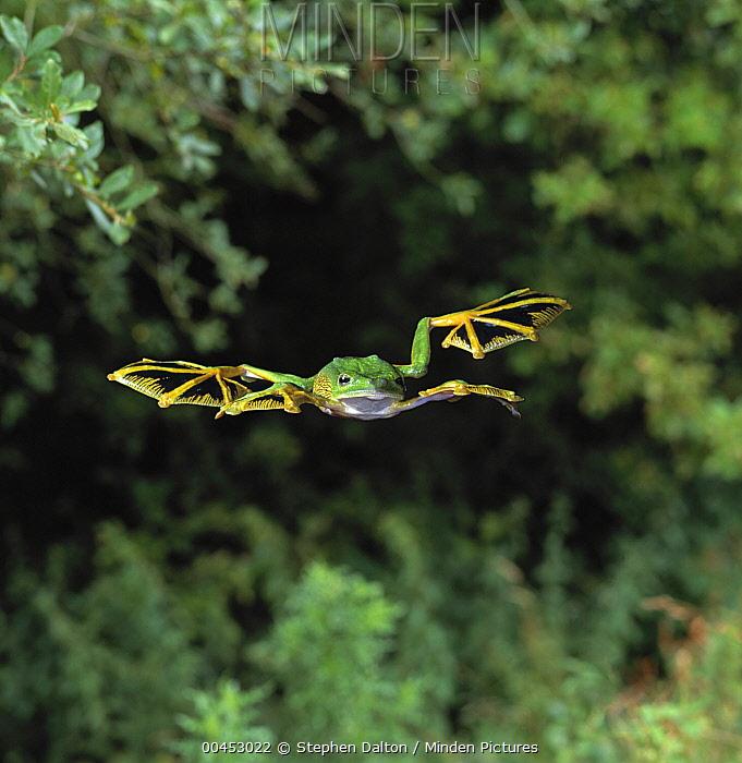 Wallace's Flying Frog (Rhacophorus nigropalmatus) gliding  -  Stephen Dalton