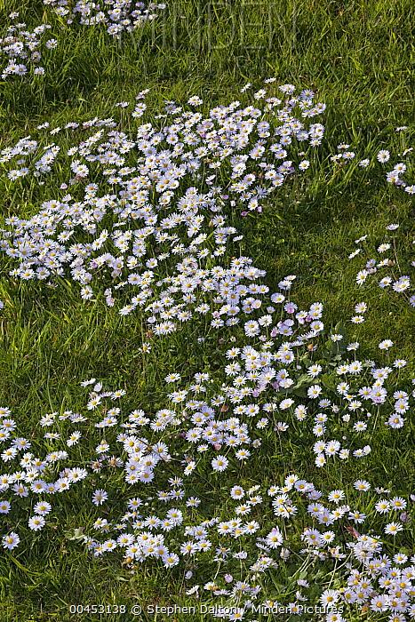 Common Daisy (Bellis perennis) flowers, Sussex, England  -  Stephen Dalton