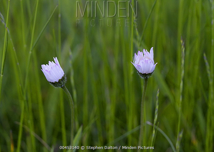 Common Daisy (Bellis perennis) flowers with petals closed at sunrise, Sussex, England, sequence 1/3  -  Stephen Dalton