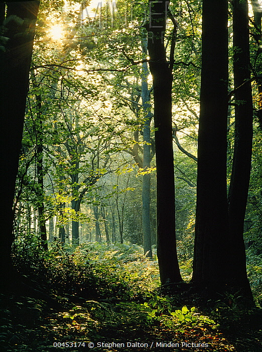 European Beech (Fagus sylvatica) forest, Sussex, England  -  Stephen Dalton