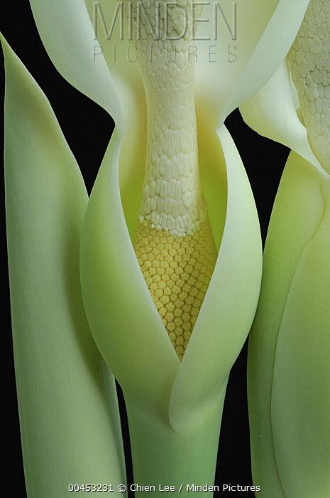 Giant Elephant Ear (Colocasia gigantea) flower style, Kuching, Sarawak, Borneo, Malaysia  -  Ch'ien Lee