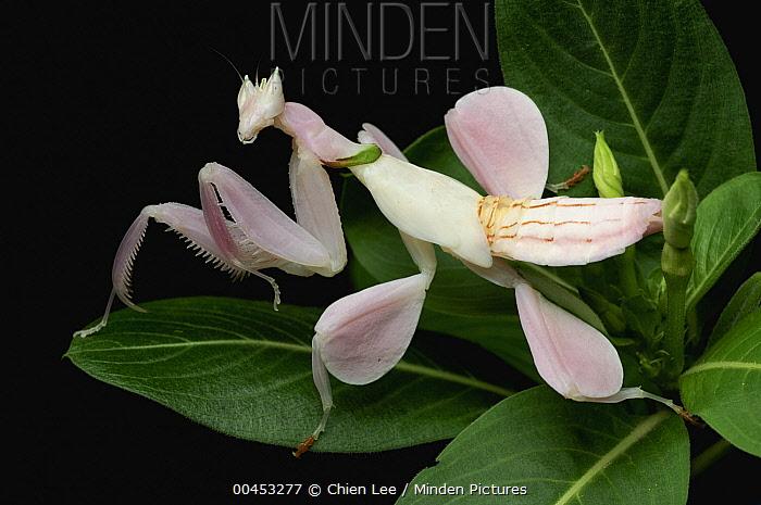 Orchid Mantis (Hymenopus coronatus) juvenile mimics flower, Jakarta, Java, Indonesia  -  Ch'ien Lee