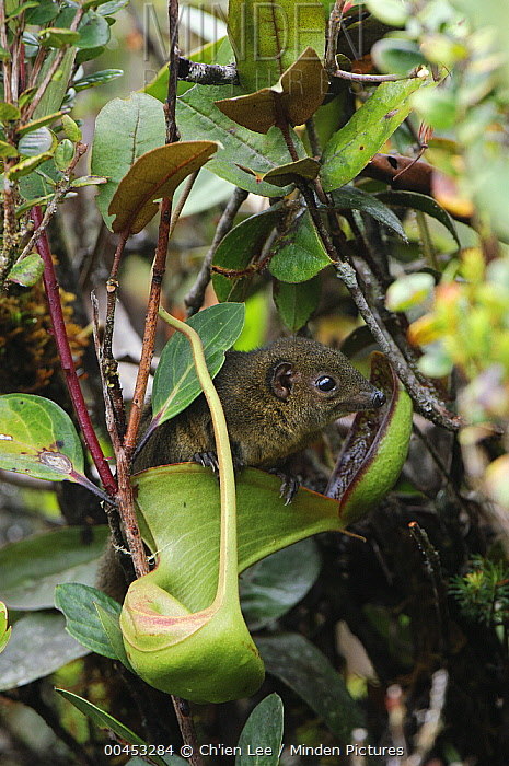 Low's Pitcher Plant (Nepenthes lowii) derives nitrogen nutrients from droppings of Mountain Tree Shrew (Tupaia montana) which are attracted to the nectar secretions, inevitably leaving their scat in the pitchers, Gunung Mulu National Park, Sarawak, Borneo, Malaysia  -  Ch'ien Lee
