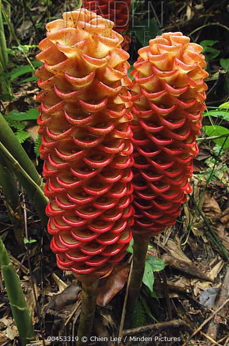 Ginger (Zingiber spectabile) flowers, Royal Belum State Park, Perak, Malaysia  -  Ch'ien Lee