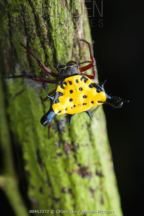 Hasselt's Spiny Spider (Gasteracantha hasselti), Danum Valley Conservation Area, Sabah, Borneo, Malaysia  -  Ch'ien Lee