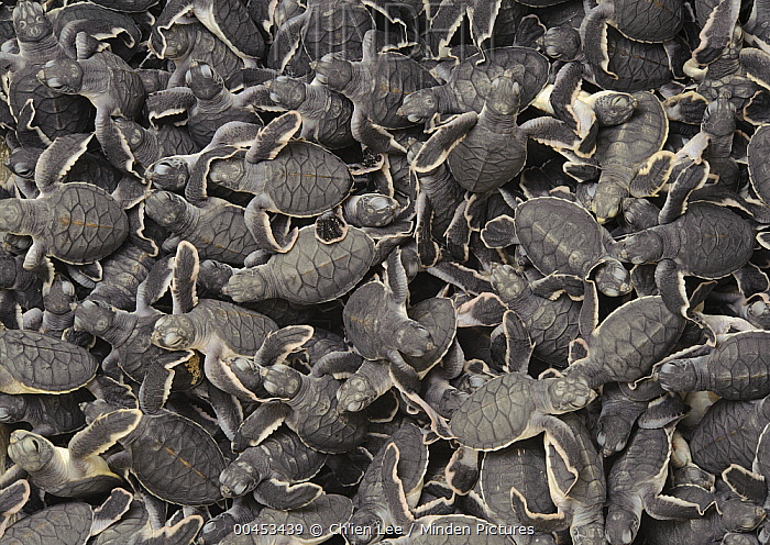Green Sea Turtle (Chelonia mydas) hatchlings ready for release into the sea, Talang-Satang National Park, Sarawak, Borneo, Malaysia  -  Ch'ien Lee