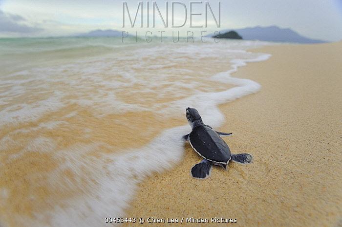 Green Sea Turtle (Chelonia mydas) hatchling going towards the sea, Talang-Satang National Park, Sarawak, Borneo, Malaysia  -  Ch'ien Lee