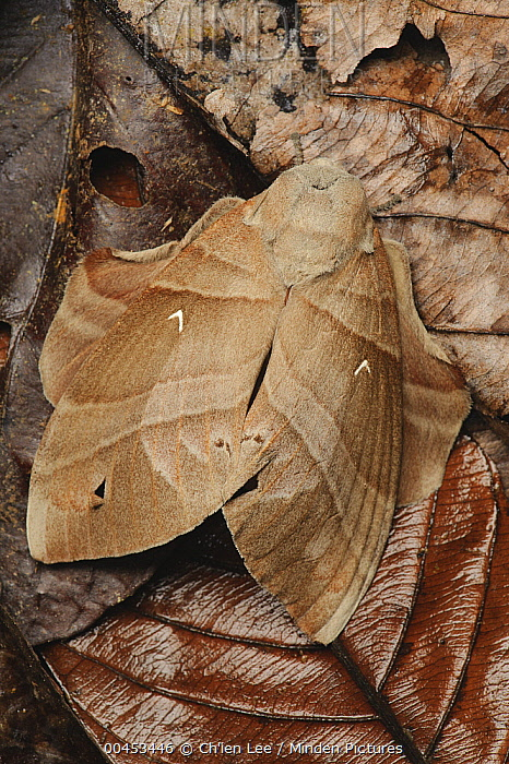 Tent Caterpillar Moth (Lebeda cognata) female camouflaged in leaf litter, Danum Valley Conservation Area, Sabah, Borneo, Malaysia  -  Ch'ien Lee