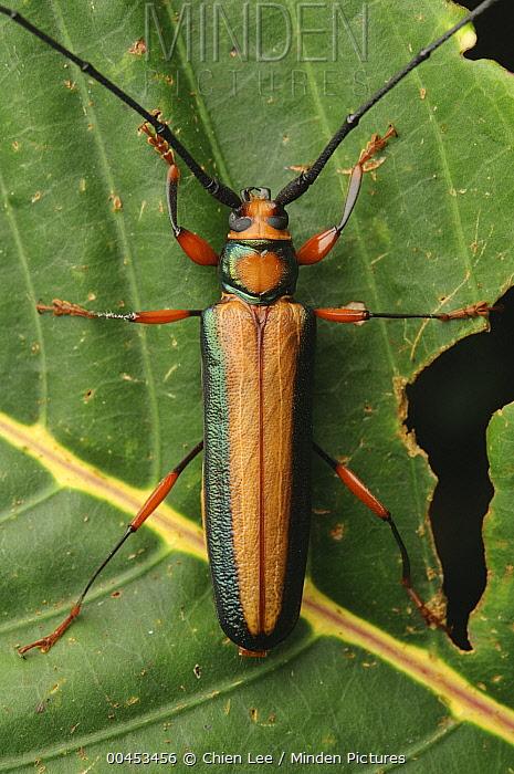 Longhorn Beetle (Xystrocera sp), Gunung Penrissen, Sarawak, Borneo, Malaysia  -  Ch'ien Lee