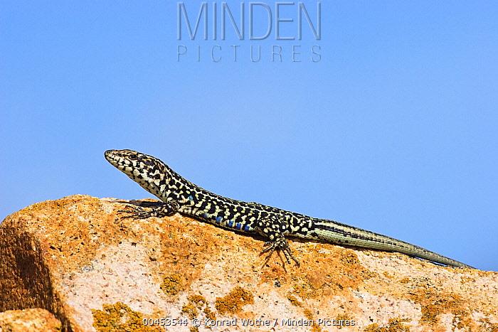 Tyrrhenian Wall Lizard (Podarcis tiliguerta) basking, Sardinia, Italy  -  Konrad Wothe