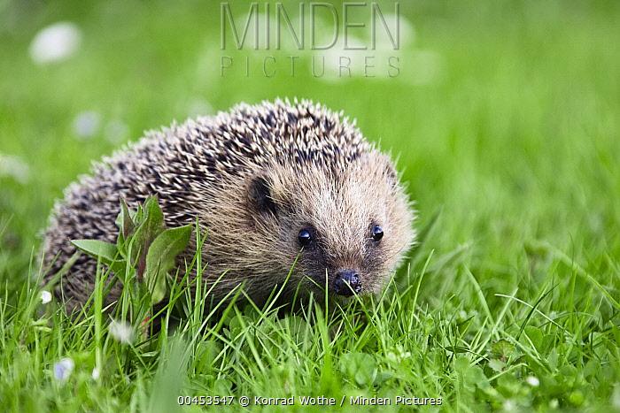 Brown-breasted Hedgehog (Erinaceus europaeus) in green grass, Bavaria, Germany  -  Konrad Wothe