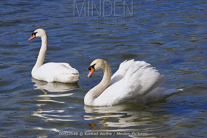 Mute Swan (Cygnus olor) pair courting, Bavaria, Germany  -  Konrad Wothe