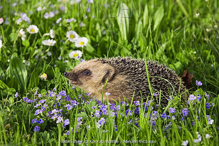Brown-breasted Hedgehog (Erinaceus europaeus) in spring meadow, Bavaria, Germany  -  Konrad Wothe