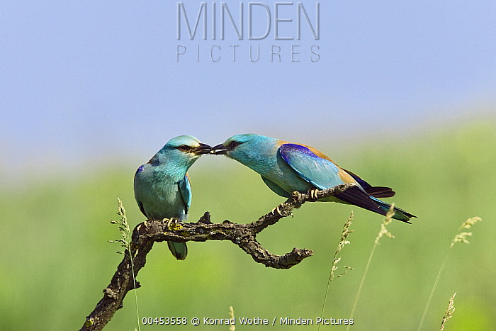 European Roller (Coracias garrulus) presents prey item to potential mate, Bulgaria  -  Konrad Wothe
