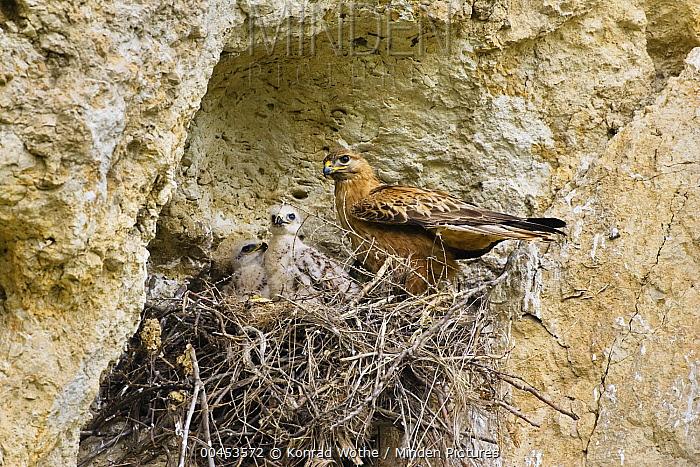 Long-legged Buzzard (Buteo rufinus) parent at nest with chicks, Bulgaria  -  Konrad Wothe