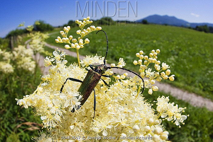 Musk Beetle (Aromia moschata) on Meadowsweet (Filipendula ulmaria) flower, Bavaria, Germany  -  Konrad Wothe