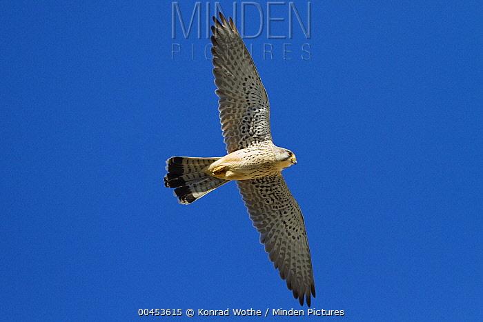 Eurasian Kestrel (Falco tinnunculus) male flying, Germany  -  Konrad Wothe