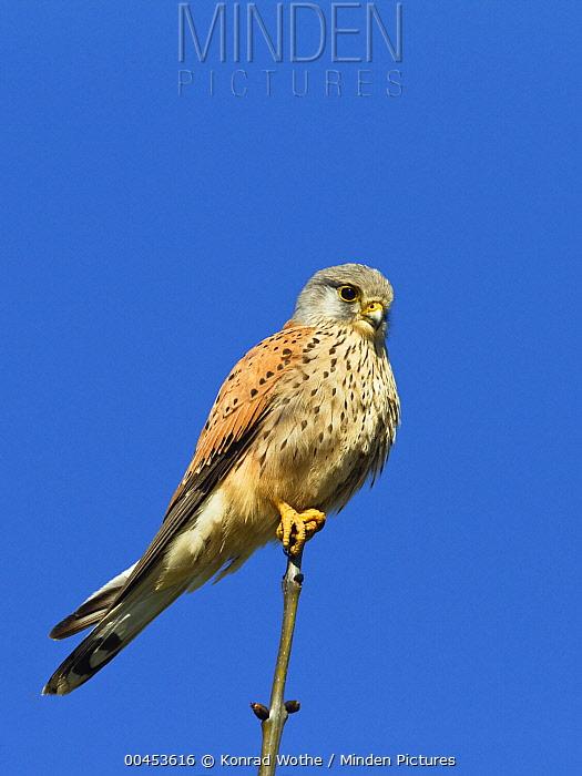 Eurasian Kestrel (Falco tinnunculus) male, Germany  -  Konrad Wothe