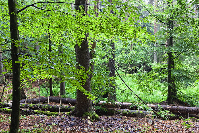 European Beech (Fagus sylvatica) forest, Bayrischer Wald National Park, Bavaria, Germany  -  Konrad Wothe