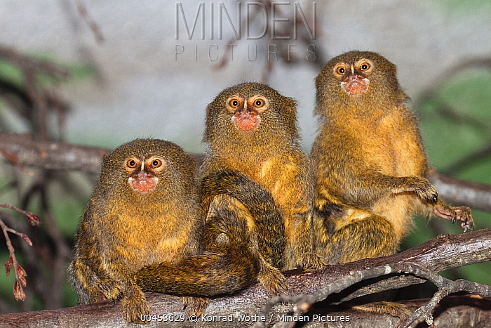 Pygmy Marmoset (Cebuella pygmaea) trio, native to South America  -  Konrad Wothe