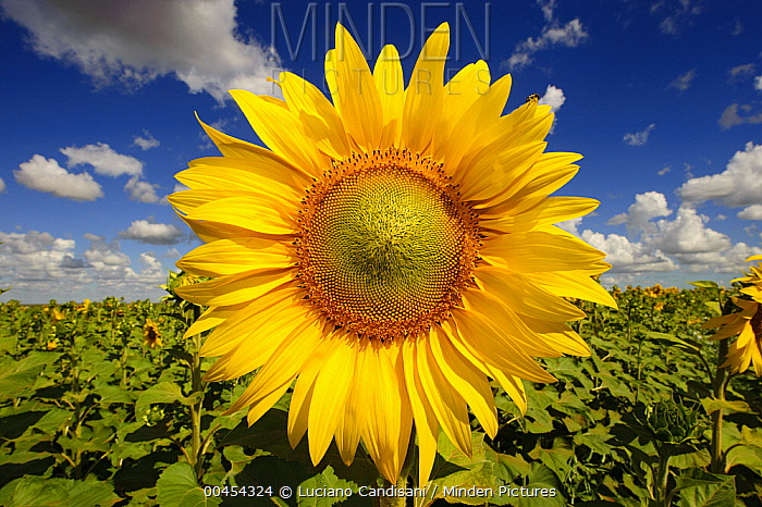 Common Sunflower (Helianthus annuus) in field, Japan  -  Luciano Candisani