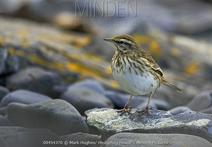 Australasian Pipit (Anthus novaeseelandiae), New Zealand  -  Mark Hughes/ Hedgehog House