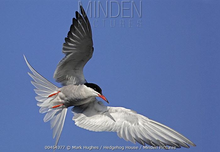 Common Tern (Sterna hirundo) flying, Stockers Lake, Hertfordshire, England  -  Mark Hughes/ Hedgehog House