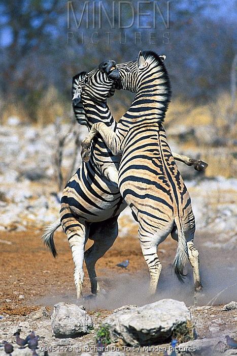 Burchell's Zebra (Equus burchellii) males fighting, Etosha National Park, Namibia