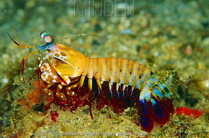 Mantis Shrimp (Odontodactylus scyllarus), Solomon Islands  -  Birgitte Wilms