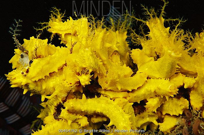 Yellow Sea Cucumber (Colochirus robustus) colony, Indonesia  -  Birgitte Wilms