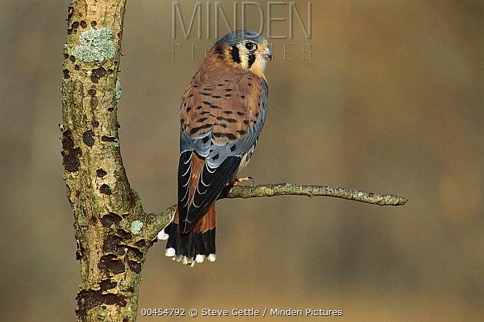 American Kestrel (Falco sparverius) male, North America  -  Steve Gettle