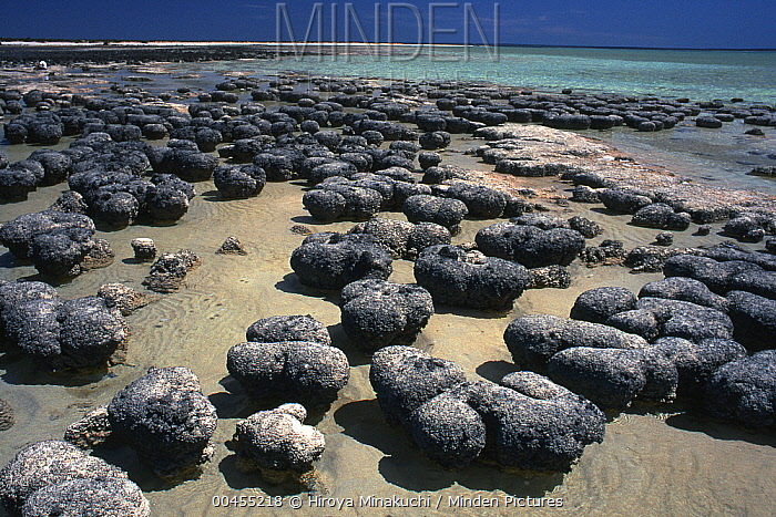 Stromatolites exposed at low tide, colonies of blue-green algae, the oldest life form that still exists today fossils dated to over three billion years ago, Hamelin Pool, Shark Bay, Western Australia  -  Hiroya Minakuchi