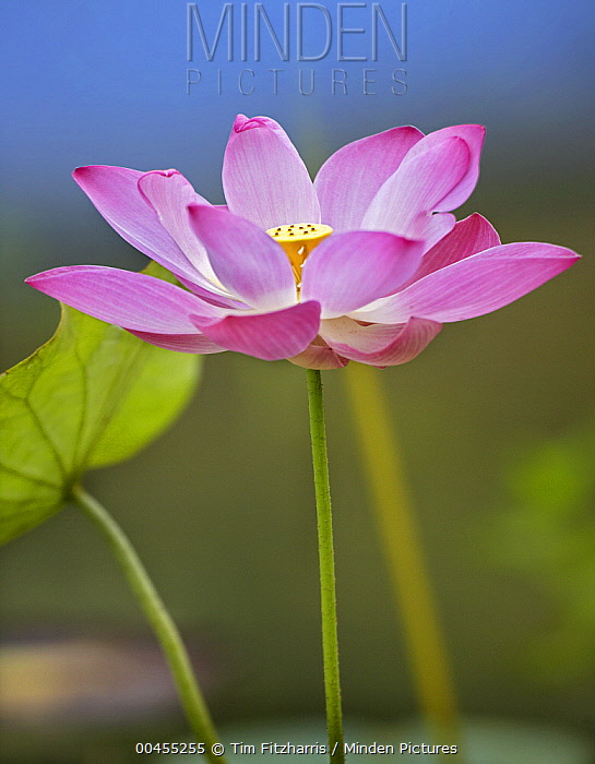Sacred Lotus (Nelumbo nucifera) flower, native to Asia  -  Tim Fitzharris