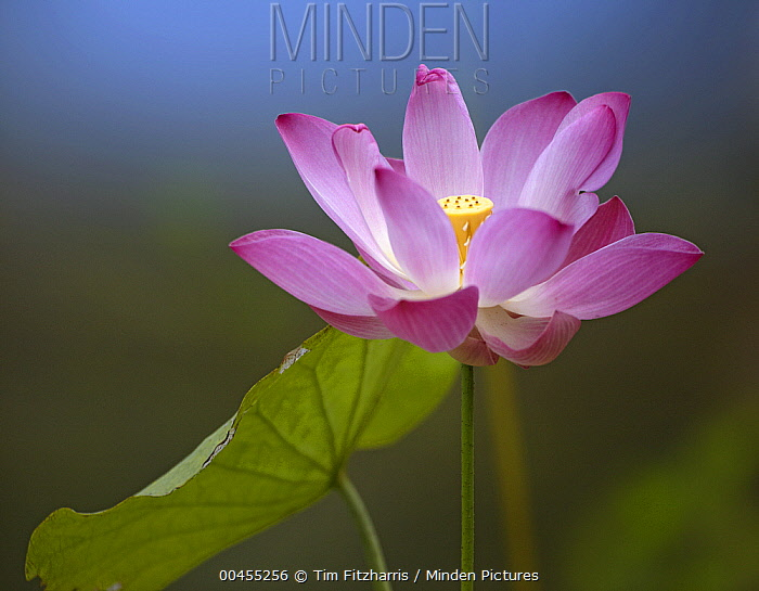 Sacred Lotus (Nelumbo nucifera) flower, native to Asia  -  Tim Fitzharris