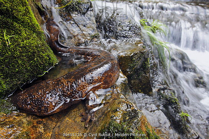 Japanese Giant Salamander (Andrias japonicus) on stream bank, Honshu, Japan  -  Cyril Ruoso