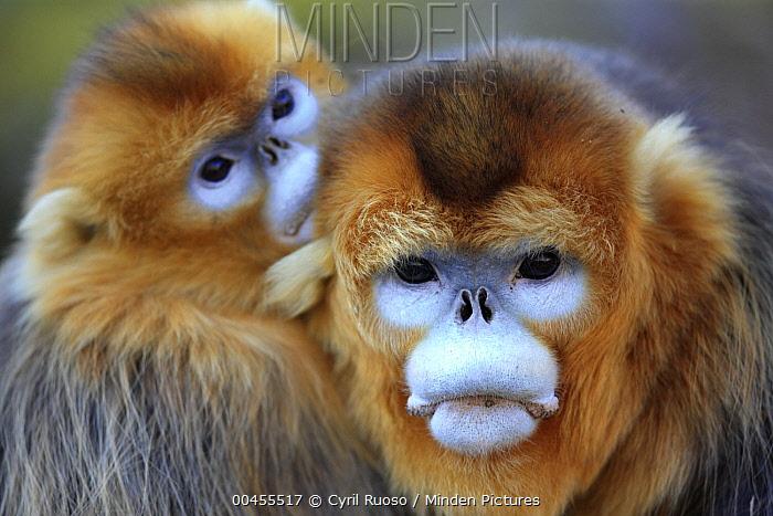Golden Snub-nosed Monkey (Rhinopithecus roxellana) male and female, Qinling Mountains, China  -  Cyril Ruoso