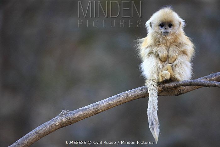 Golden Snub-nosed Monkey (Rhinopithecus roxellana) juvenile, Qinling Mountains, China  -  Cyril Ruoso