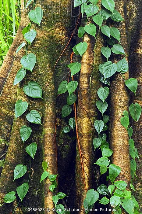 Fig (Ficus sp) tree trunk with vine, Queensland, Australia  -  Kevin Schafer