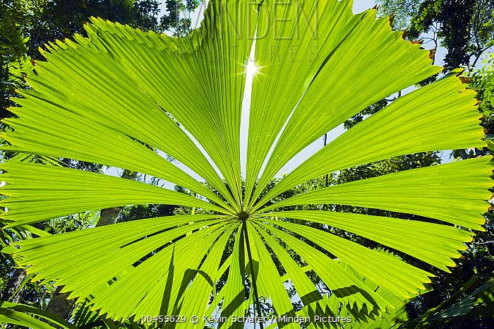 Licuala Fan Palm (Licuala ramsayi) leaf, Licuala State Forest, Mission Beach, Queensland, Australia  -  Kevin Schafer