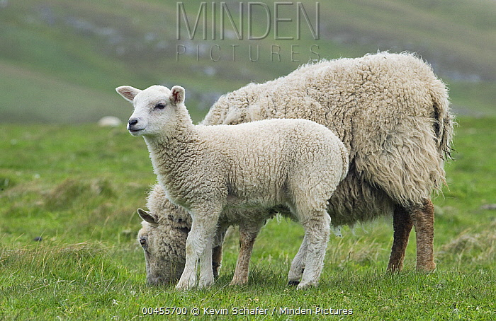 Domestic Sheep (Ovis aries) with lamb, Fair Isle, Scotland  -  Kevin Schafer
