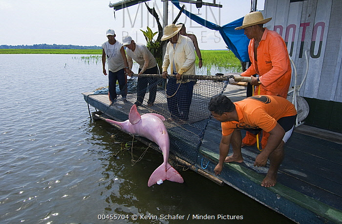 Amazon River Dolphin (Inia geoffrensis) released by research team, Mamiraua Reserve, Amazonia, Brazil  -  Kevin Schafer