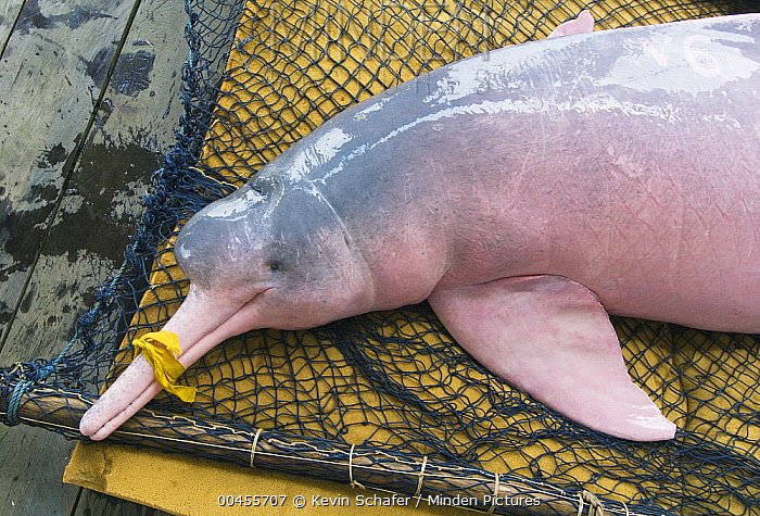 Amazon River Dolphin (Inia geoffrensis) captured by research team, Mamiraua Reserve, Amazonia, Brazil  -  Kevin Schafer