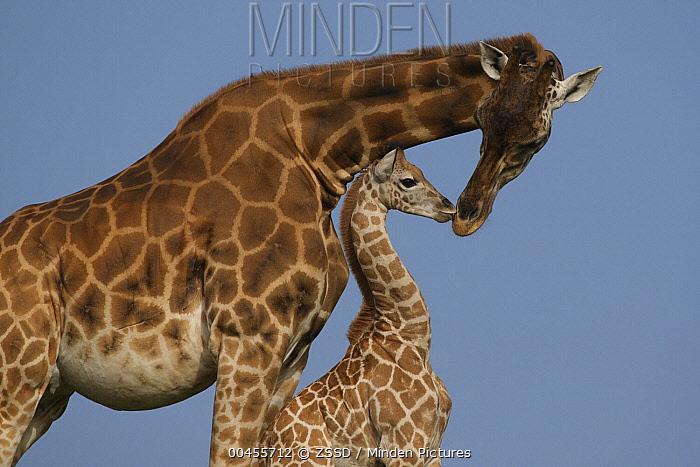 Rothschild Giraffe (Giraffa camelopardalis rothschildi) mother and calf nuzzling, native to Africa  -  ZSSD