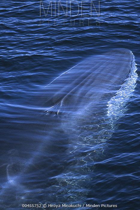 Fin Whale (Balaenoptera physalus) near surface, Baja California, Mexico  -  Hiroya Minakuchi