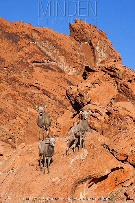 Desert Bighorn Sheep (Ovis canadensis nelsoni) ewes in desert habitat, southern Nevada  -  Donald M. Jones