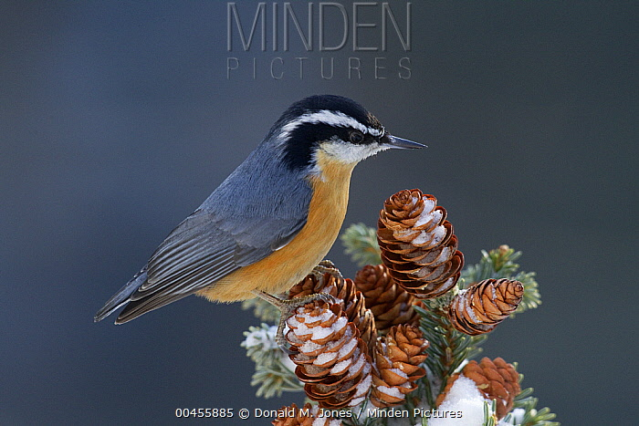Red-breasted Nuthatch (Sitta canadensis) perching on pine cones, North America  -  Donald M. Jones