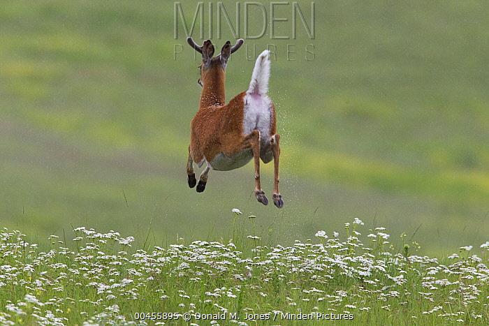 White-tailed Deer (Odocoileus virginianus) buck jumping and flashing tail, North America  -  Donald M. Jones