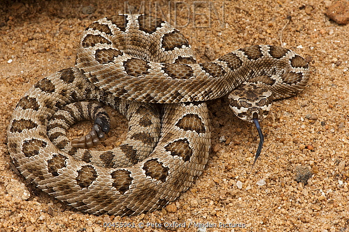 Western Rattlesnake (Crotalus viridis) in defensive posture, native to western North America  -  Pete Oxford
