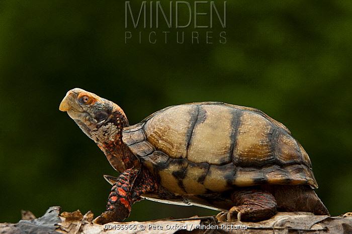 Mexican Box Turtle (Terrapene carolina mexicana), native to Mexico  -  Pete Oxford