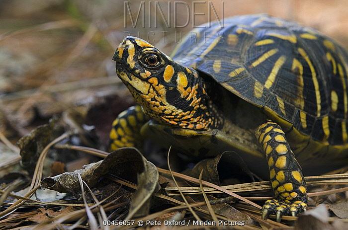 Eastern Box Turtle (Terrapene carolina), native to the eastern United States  -  Pete Oxford